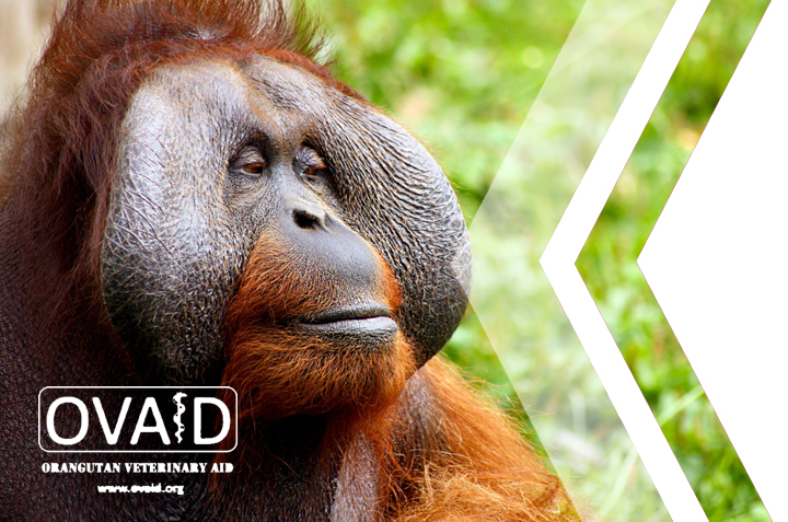 Orangutan Veterinary Aid (OVAID) Support Update
